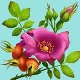 Bright wild rose Stock Photography