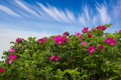 Bright wild rose Bush. On the background of blue sky royalty free stock images