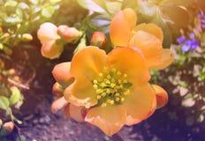 Beautiful wild rose flower on a Bush branch. Bright wild rose flower on a Bush branch in the summer sun stock photography