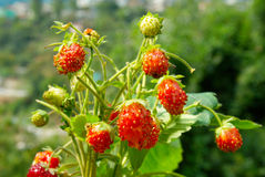 Bright wild strawberries Royalty Free Stock Image