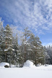 Bright winter day forest Royalty Free Stock Photo