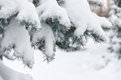 Bright winter landscape. Snowy fir trees. Branches closeup. Royalty Free Stock Photography