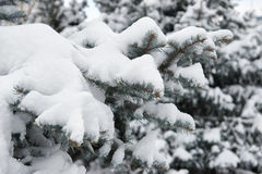 Bright winter landscape. Snowy fir trees. Branches closeup. Stock Photography