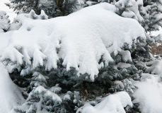 Bright winter landscape. Snowy fir trees. Branches closeup. Royalty Free Stock Photos