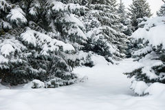 Bright winter landscape. Snowy fir trees. Royalty Free Stock Images