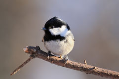 Bright winter perching Coal Tit Stock Image