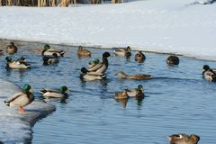 Mallard Flock On Winter Pond. Bright winter vista on a flock of mallard ducks swimming in a partly thawed freshwater pond Royalty Free Stock Image