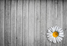 Bright wood background with a marguerit flower Royalty Free Stock Images