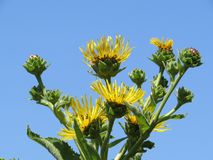 Bright yello elecampane flowers and buds against a blue sky background Stock Photo