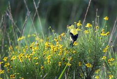 Yellow American Goldfinch and wildflowers, Walton County, Georgia USA. Bright yellow American Goldfinch songbird in grassy meadow with yellow wildflower Helinium stock images