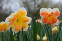 Free Bright Yellow And Orange Special Daffodils Royalty Free Stock Photo - 114602415