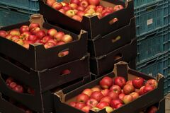 Free Bright Yellow And Red Apples In Stacked Paper Carton Boxes At Fruit Warehouse Stock Photography - 195377052