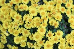 A bright yellow aster in morning sunl ight. Bright yellow aster in morning sunl ight Stock Photos