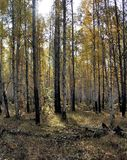 Bright yellow autumn birch forest in october Stock Photos