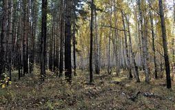 Bright yellow autumn birch and pine forest in october Stock Images