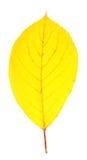 Bright yellow autumn leaf Stock Photos
