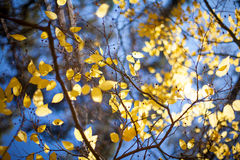 Bright yellow autumn leafs and blue sky background Stock Image