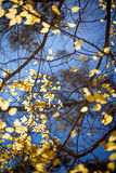 Bright yellow autumn leafs and blue sky background Stock Images