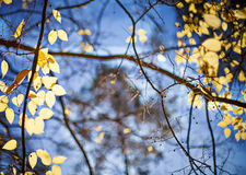 Bright yellow autumn leafs and blue sky background Royalty Free Stock Photo