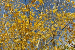 Bright yellow autumn leaves on blue sky background stock photography