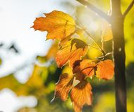 Bright yellow autumn leaves close-up, natural background and tex. Ture Royalty Free Stock Image