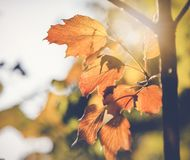 Bright yellow autumn leaves close-up, natural background and tex. Ture Stock Photos