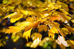 Bright yellow autumn leaves Stock Photography
