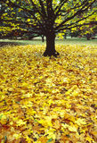 Bright yellow autumn leaves surround the bare tree Stock Photography