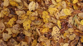 Bright yellow autumn maple  leaves on the ground.  stock video footage