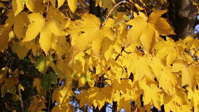 Bright yellow autumn maple leaves. Bright yellow autumn maple leaves swaying in the wind stock footage