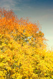 Bright Yellow Autumnal Trees Royalty Free Stock Images