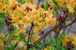 Yellow azalea flowers against the background of green leaves royalty free stock photography