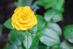 Bright yellow beautiful rose. On a green background Stock Photos