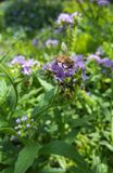 Bright yellow bee on vibrant green and purple plant. Busy pollinating royalty free stock images