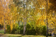 Yellowing birches and bushes in the city Royalty Free Stock Photography