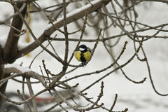 Bright Yellow Bird. The little bird eats the Bird seed on a branch in winter stock images