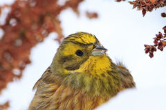 Bright yellow bird portrait in snow Stock Photo