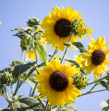 Bright Yellow Black Centered Sunflower (Helianthus Annuus) Royalty Free Stock Image