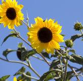 Bright yellow black centered  Sunflower (Helianthus annuus) Stock Images