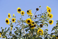 Bright yellow black centered  Sunflower (Helianthus annuus) Royalty Free Stock Photos