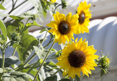 Bright yellow black centered  Sunflower (Helianthus annuus) Stock Image