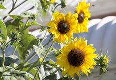Bright yellow black centered  Sunflower (Helianthus annuus). A bush of  brilliant yellow black centered  Sunflowers (Helianthus annuus) in glorious summer bloom Stock Image