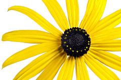 Bright yellow black-eyed-susan flower Royalty Free Stock Images