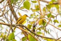 Bright yellow Black-naped Oriole perching on Bo tree perch royalty free stock photos