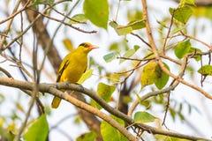Bright yellow Black-naped Oriole perching on Bo tree perch royalty free stock photography