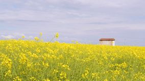 Bright yellow blooming canola field with a house, against the sky with clouds.