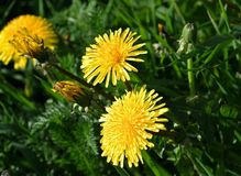 Bright yellow blooming dandelion Royalty Free Stock Image
