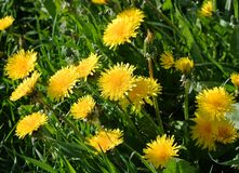 Bright yellow blooming dandelion Royalty Free Stock Photo