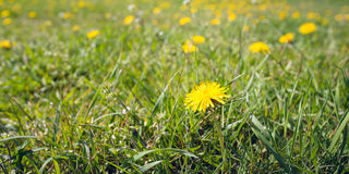 Bright yellow blooming dandelion in the fresh green grass Stock Photos