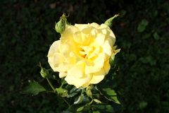 Bright yellow blooming rose surrounded with closed rose buds on dark vegetation background stock photo